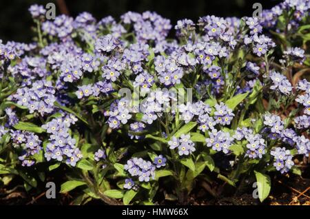 Alpine Forget-me-not (Myosotis alpestris), Boraginaceae. - Stock Photo