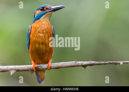 A male Kingfisher ( Alcedo atthis ) sitting on a branch - Stock Photo