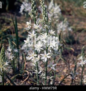 Star-of-bethlehem (Ornithogalum narbonense), Liliaceae. - Stock Photo