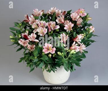 Peruvian lily or lily of the Incas (Alstroemeria Princess Lilies), Alstroemeriaceae. - Stock Photo