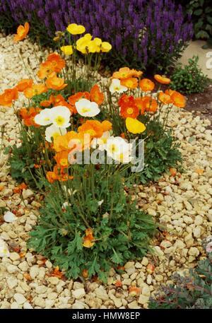 Iceland poppy (Papaver nudicaule Champagne Bubbles), Papaveraceae. - Stock Photo