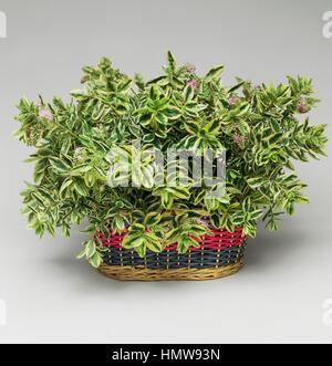 Hebe (Hebe variegata), Scrophulariaceae Stock Photo, Royalty Free ...
