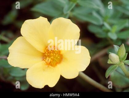 Moss-rose Purslane or Moss-rose (Portulaca grandiflora), Portulacaceae. - Stock Photo