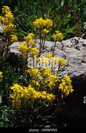 Tufted wallflower (Erysimum helveticum), Brassicaceae. - Stock Photo
