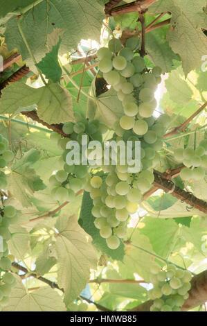 Fox Grape (Vitis labrusca), Vitaceae. - Stock Photo