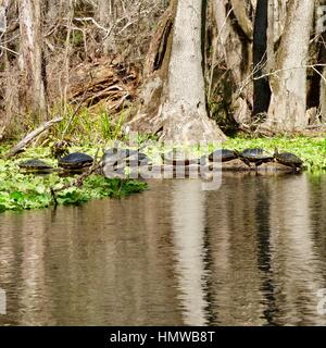 Turtles Sunning on a Log on the Shores of the Ichetucknee River, near the Town of Fort White in North Central Florida, - Stock Photo