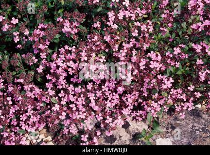 Rock Soapwort or Tumbling Ted (Saponaria ocymoides), Caryophyllaceae. - Stock Photo