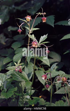 Purple avens or Water Avens (Geum rivale), Rosaceae. - Stock Photo