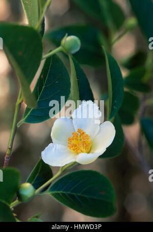 Japanese Stewartia or Deciduous Camellia (Stewartia pseudocamellia or Stuartia pseudocamellia), Theaceae. - Stock Photo