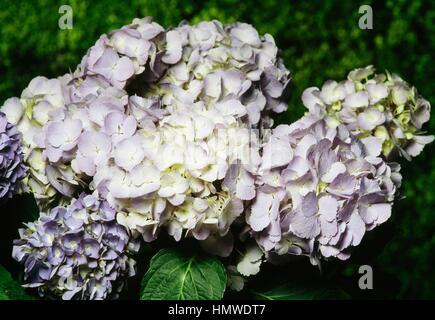 Hydrangea or Hortensia (Hydrangea macrophylla Bodensee), Hydrangeaceae. - Stock Photo