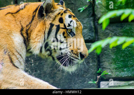 A walking Siberian tiger (panthera tigris altacia) close-up portrait - Stock Photo