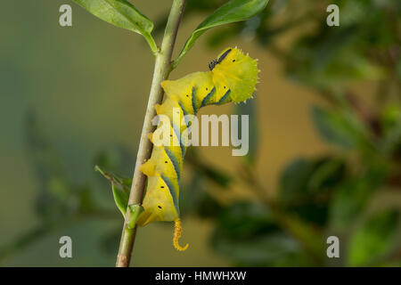 Totenkopfschwärmer, Totenkopf-Schwärmer, Raupe frisst an Liguster, Acherontia atropos, Death's-head Hawk moth, caterpillar, - Stock Photo