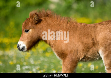 A cute shetland pony foal / filly in a meadow filled with flower during spring - Stock Photo