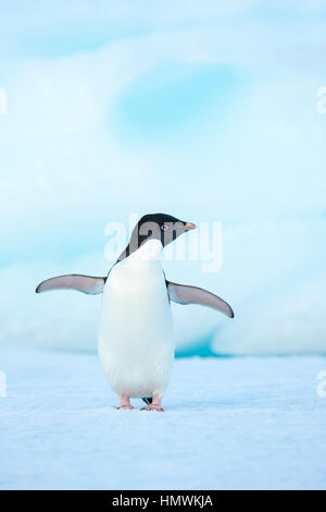 Adelie penguin Pygoscelis adeliae, adult, wing-stretching on iceberg, Booth Island, Antarctic Peninsula in January. - Stock Photo