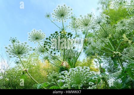 giant hogweed - Stock Photo