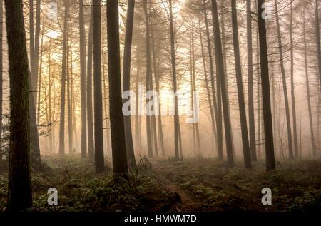 Woodland Fog - Stock Photo