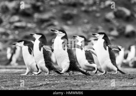 Chinstrap penguin Pygoscelis antarctica, adults, marching over volcanic sand, Baily Head, Deception Island in January. - Stock Photo