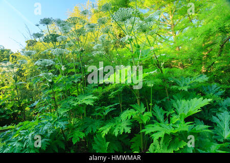Giant hogweed, Heracleum mantegazzianum in a garden, Normandy, France. - Stock Photo
