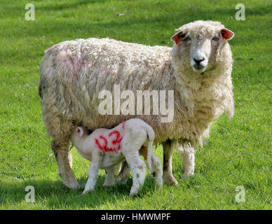 Spring Lamb feeding from a Ewe on a grassy meadow - Stock Photo