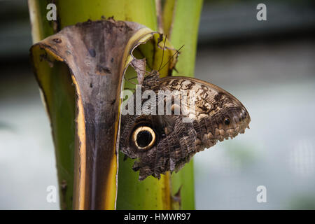 A forest giant owl butterfly sitting on a leaf - Stock Photo