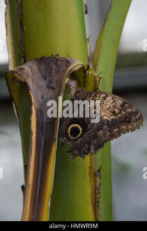Forest Giant Owl butterfly (Caligo Eurilochus) on a leaf in a hot house at a zoo - Stock Photo