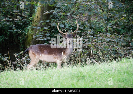 A fallow deer standing on the edge of a forest