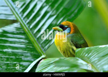 Red-headed Barbet in higland tropical rain forest - Stock Photo