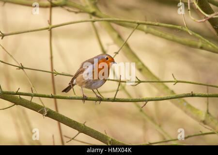 European Robin (Erithacus rubecula), known simply as the Robin or Robin Redbreast - Stock Photo