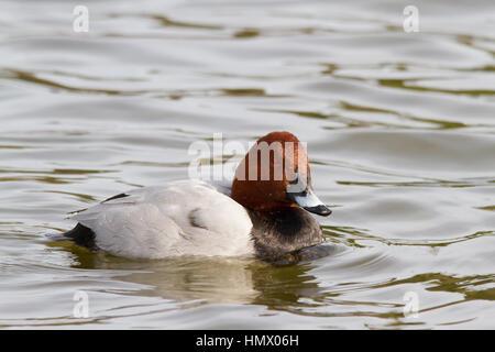 Common Pochard (Aythya ferina) swimming - Stock Photo