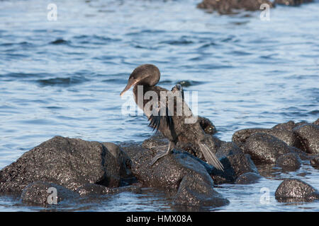 Flightless Cormorant (Phalacrocorax harrisi), also known as the Galapagos Cormorant perched on rocks - Stock Photo
