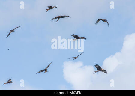 Red Kites, Milvus mills, circling for food at feeding time, Bwlch Nant yr Arian Visitor Centre, Ceredigion, Wales - Stock Photo
