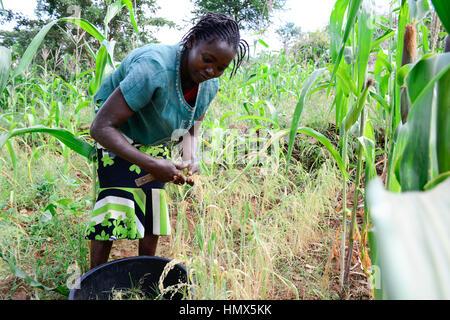 KENYA, Mount Kenya East, Mitunguu, village Karima Kaathi, woman harvest prosho millet / KENIA, Frau erntet Rispen - Stock Photo