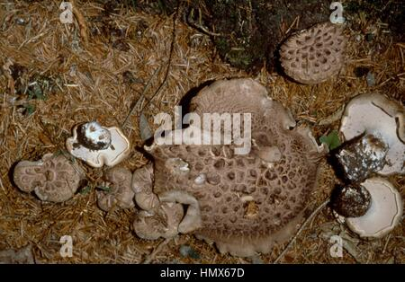 Scaly Tooth, Shingled hedgehog or Scaly hedgehog (Sarcodon imbricatus), Hydnaceae. - Stock Photo