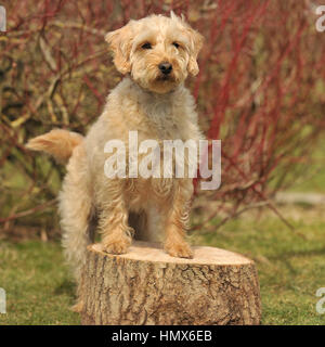 cockapoo - Stock Photo