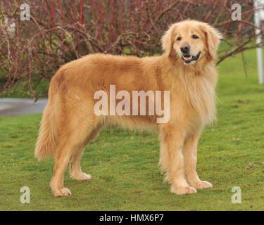 hovawart dog - Stock Photo