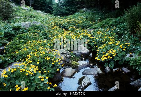 Kingcup or Marsh marigold (Caltha palustris), Ranunculaceae, Parma Apennines, Italy. - Stock Photo