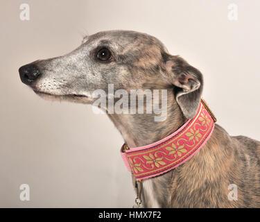whippet dog studio shot - Stock Photo