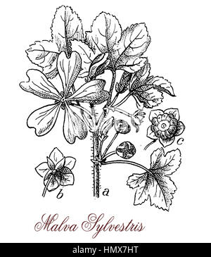 Malva sylvestris or high mallow is a tall flowering plant with mauve-purple flowers with dark veins. It is used - Stock Photo