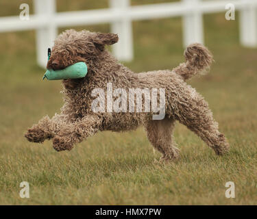 spanish water dog doing dog training - Stock Photo