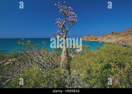 Yemen, Socotra Island (UNESCO World Heritage List, 2008), near Hadibu, desert rose (Adenium obesum subsp socotranum), - Stock Photo