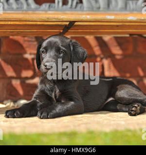 labrador retriever puppy - Stock Photo