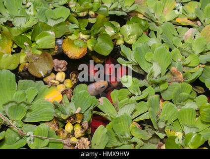 Fish in a pond covered in water lily pads are surfacing in a small area of clear water. - Stock Photo