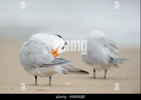 A Royal Tern bends its head to its back to clean off its wings while standing on a sandy beach. - Stock Photo