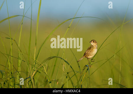 A Seaside Sparrow perches on some bright green marsh grass on a sunny morning. - Stock Photo