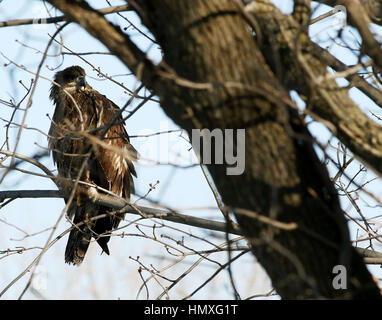 Rock Island, Iowa, USA. 19th Dec, 2016. An immature Bald Eagle sits in a tree overlooking the Rock River in Rock - Stock Photo