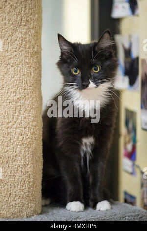 Wantagh, New York, USA. February 5, 2017. SALSA, a five month old black and white domestic female cat is sitting - Stock Photo