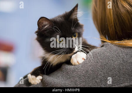 Wantagh, New York, USA. February 5, 2017. SALSA, a five month old black and white domestic female cat is looking - Stock Photo