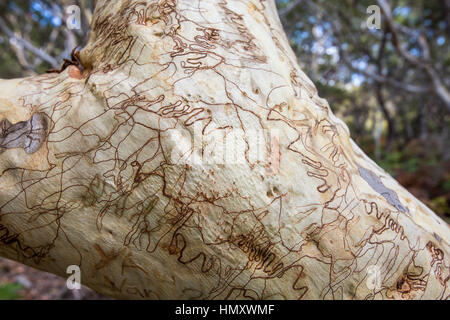 Close up of bark on a Scribbly Gum tree with distinctive markings from moths,Jervis Bay,Australia - Stock Photo
