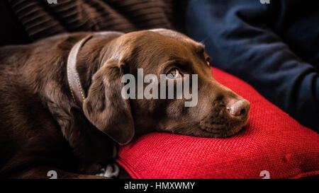 Dog resting on a pillow in dog friendly hotel - Stock Photo