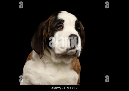 Saint Bernard Puppy on Isolated Black Background - Stock Photo